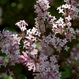 scented garden lilac