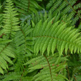 tropical garden ferns