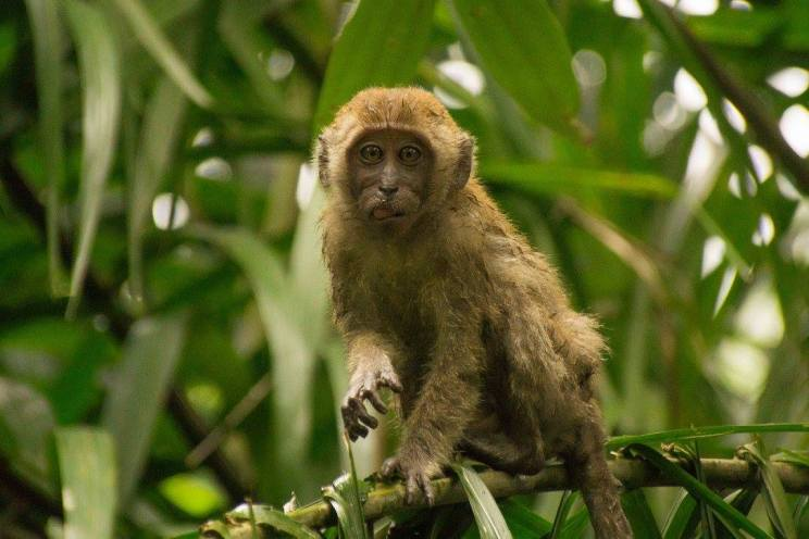 Long-tailed macaque (Macaca fascicularis). Photo by Jensen Seah.