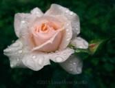 Rain on a rose