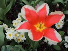 Tulipan i Holland