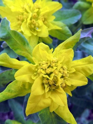 Euphorbia Vortemælk