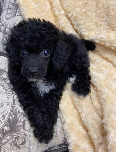 Black Teacup Poodle : black, teacup, poodle, Black, Teacup, Poodle, Cheap, Online
