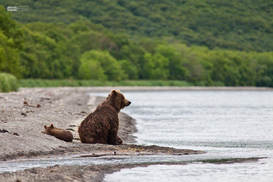 Как медведи ловят рыбу
