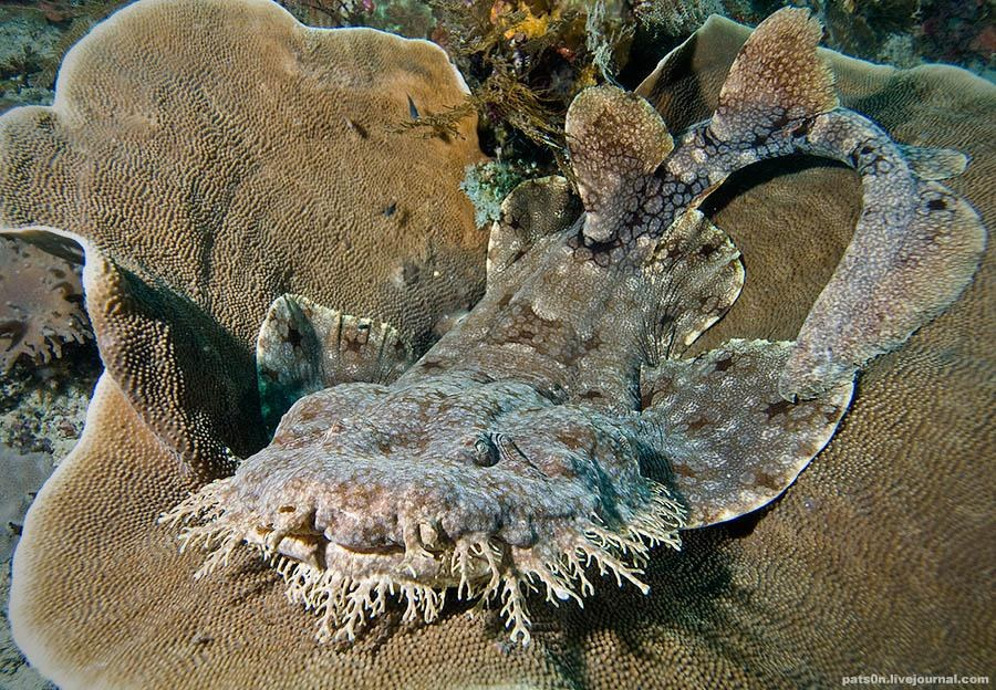 Кистевой воббегонг или ковровая акула