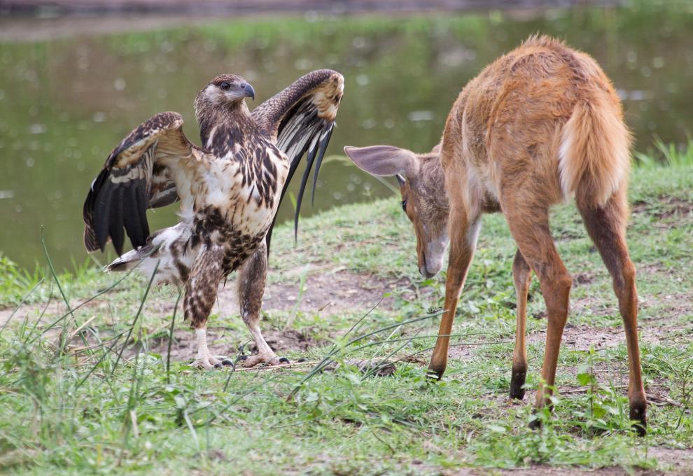 Несовершеннолетний орел и молодой олень в Национальном парке Крюгера в Южной Африке
