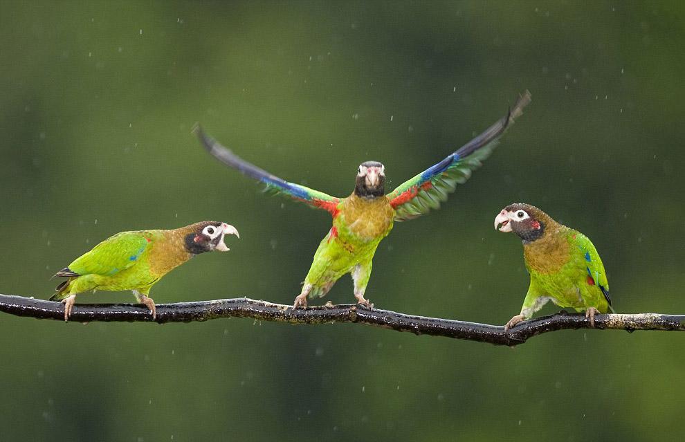 Артистичные попугаи на ветке под дождем в Коста-Рике