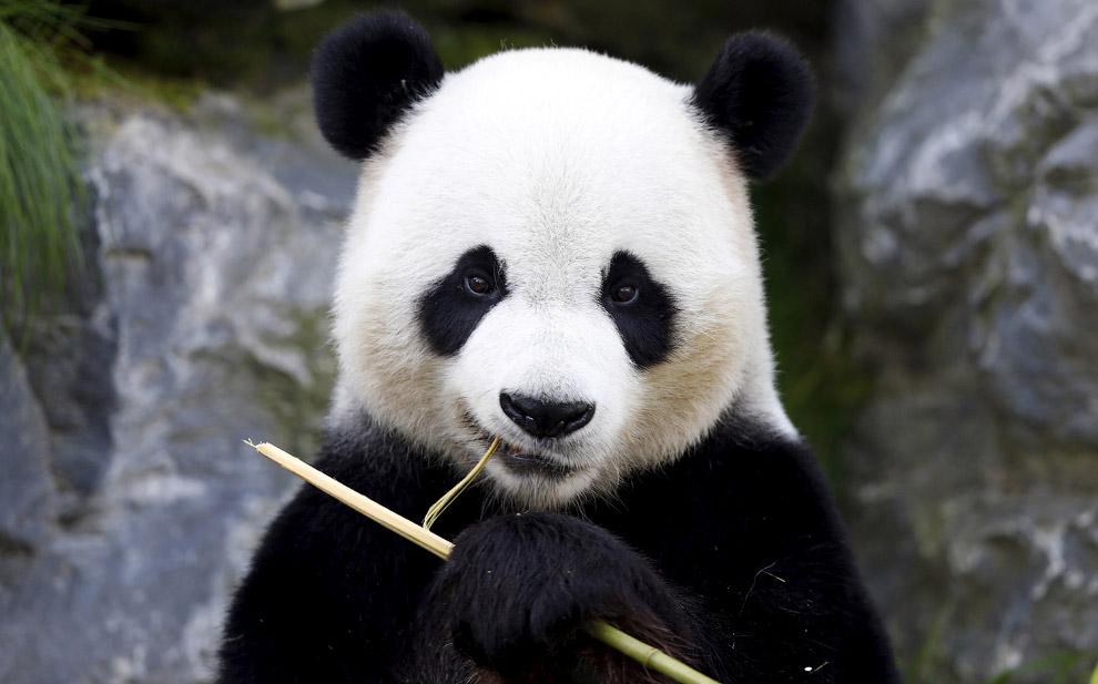 6-летная панда ест бамбук в парке дикой природы в Бельгии
