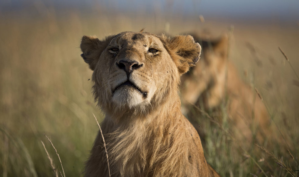Молодой лев в заповеднике Масаи Мара на юго-западе Кении