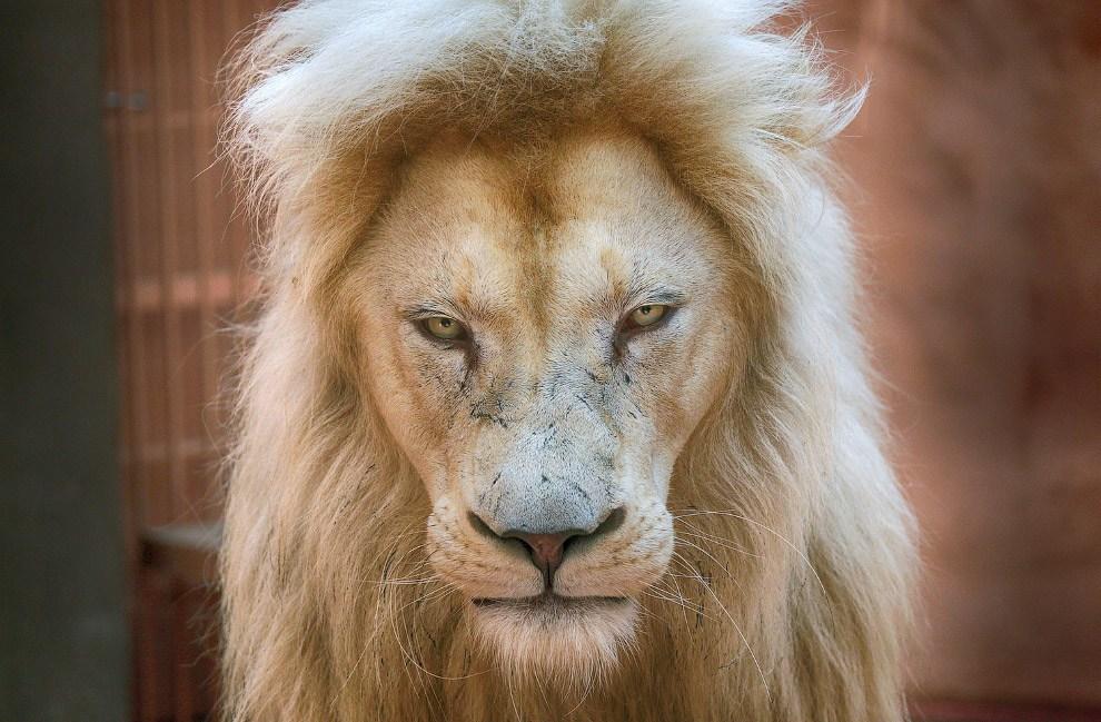 5-летний белый лев Людвиг, отец пятерых новорожденных белых львят в частном зоопарке в 50 км от Киева