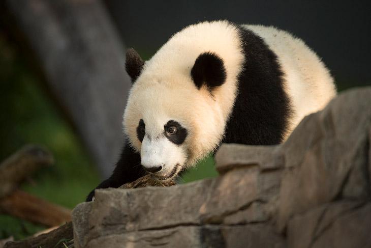 Большой панде Mei Xiang