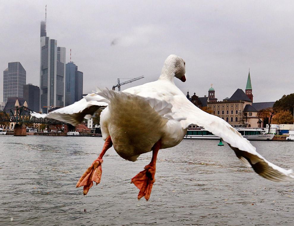 Большой белый гусь во Франкфурте, Германия