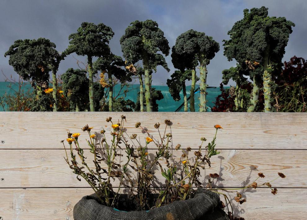 Капуста выроста на ферме в городе Гетеборге, Швеция