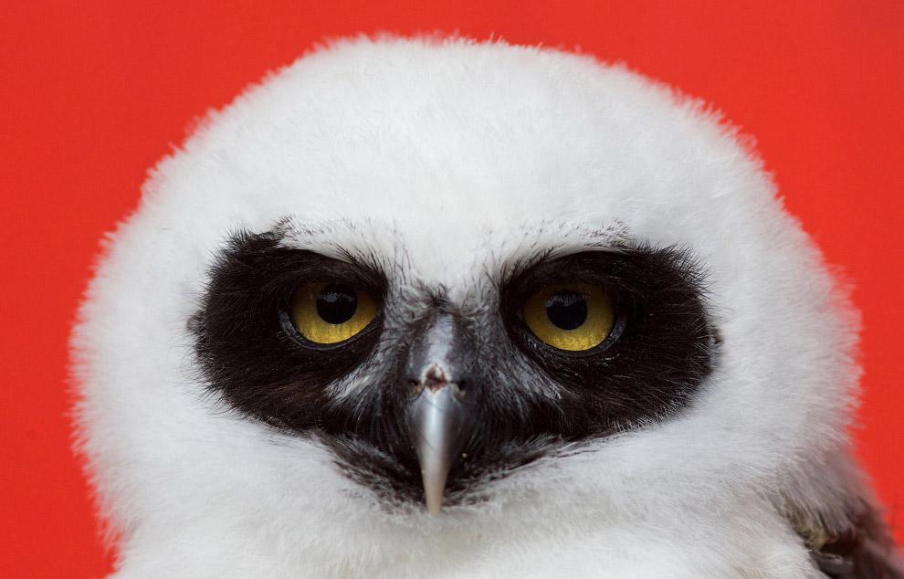 Очковая сова