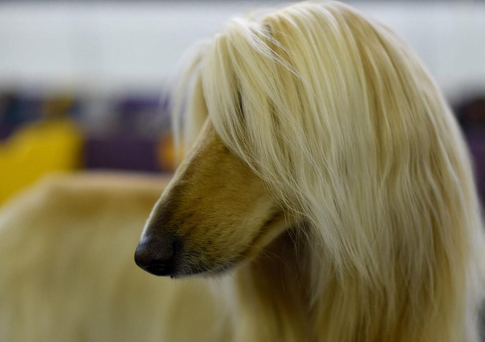 Афган — охотничья порода собак. Похожа на Салюки, c более густой шерстью