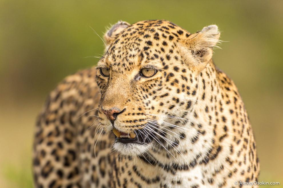 Африканский леопард