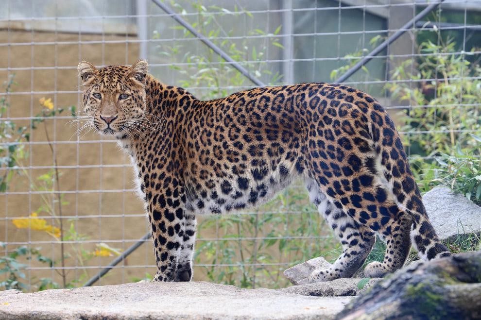 Севернокитайский леопард (Panthera pardus japonensis)