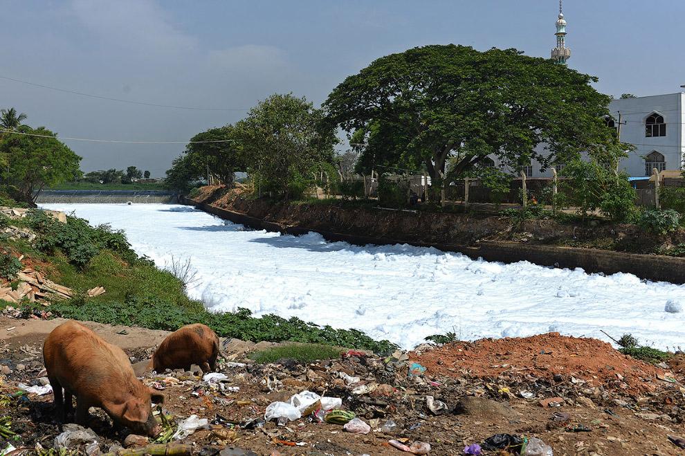 Хрюхи и напрочь загрязненный канал в восточном Бангалоре, Индия