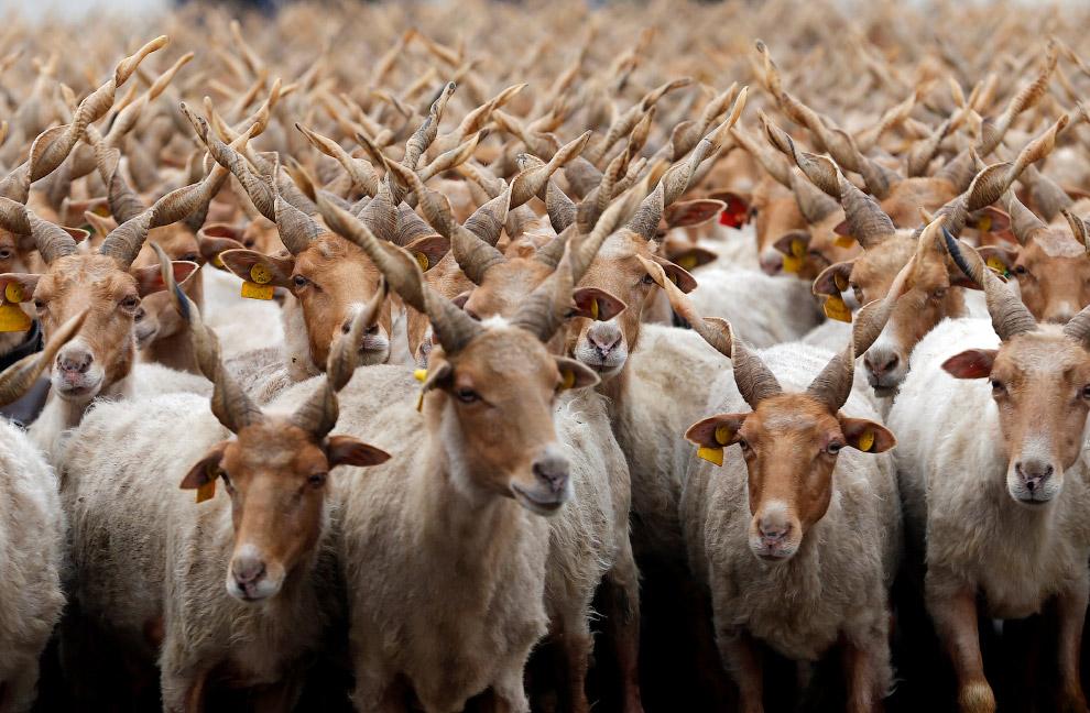 Стадо овец в Хортобаги, Венгрия
