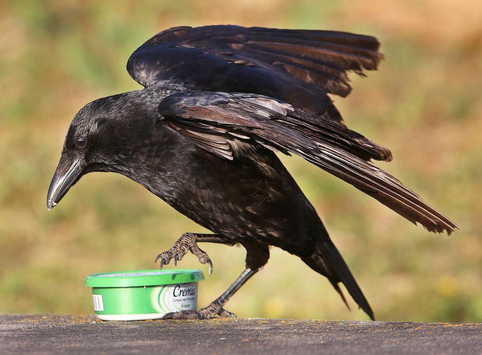 Ворона пытается открыть коробку с сыром во Франкфурте, Германия