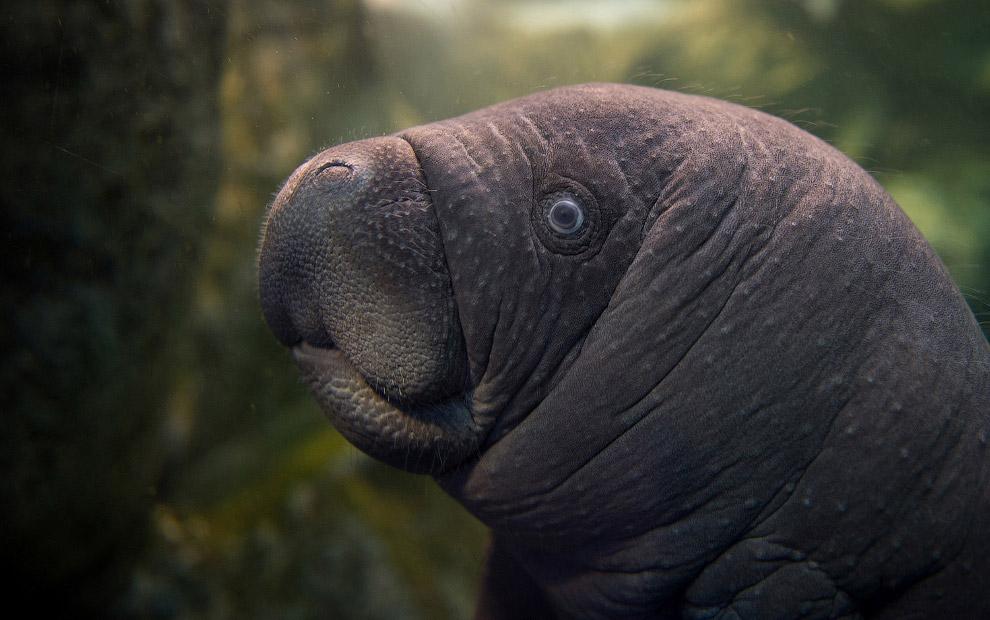 Ламантин в зоопарке в Сен-Эньяне, Франция