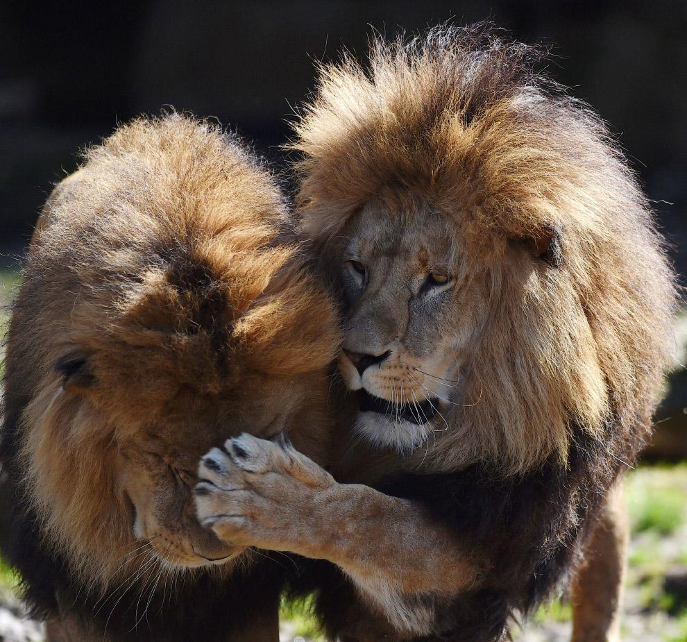 Львы в зоопарке Мюнхена на юге Германии