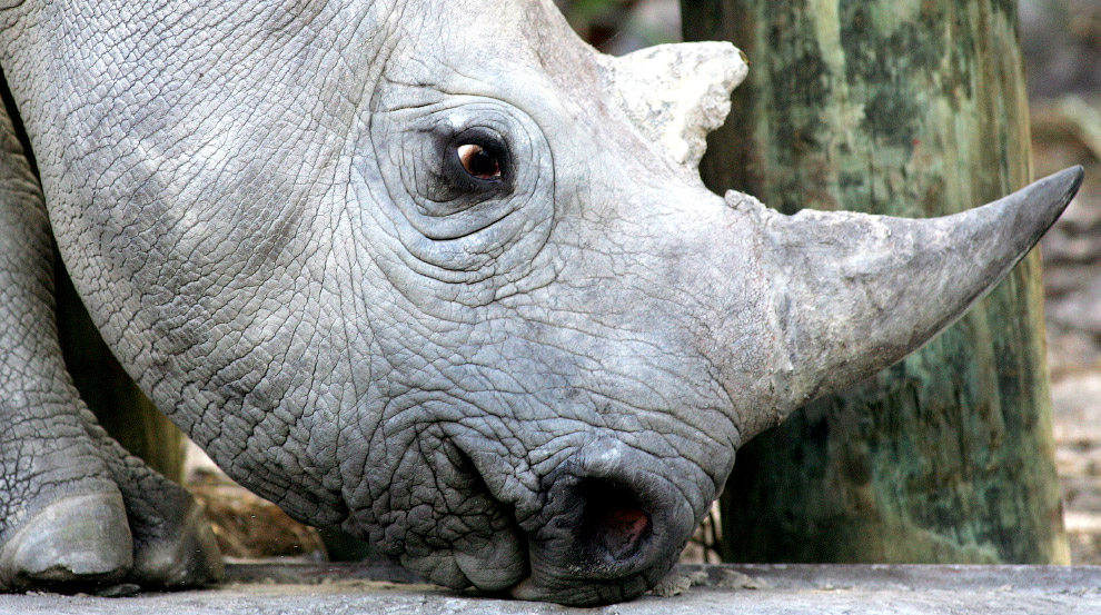 Очаровательный 33-месячный черный носорог около Кейптауна, Южная Африка