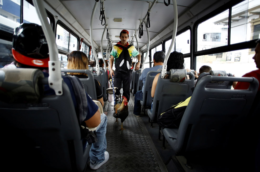 В автобусе петух тоже чувствует комфортно, Коста-Рика