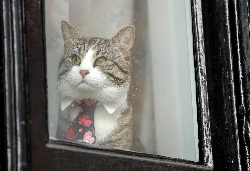 Усатый дипломат. Кот в окне посольства Эквадора в Лондоне