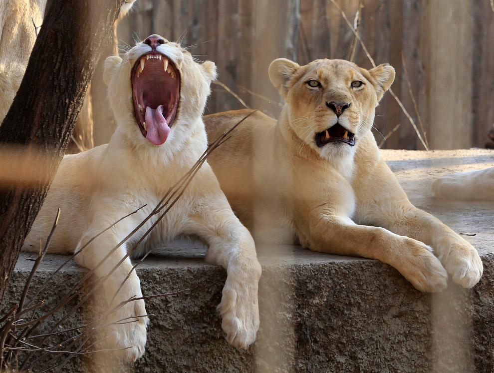 Белые тигрицы в тбилисском зоопарке