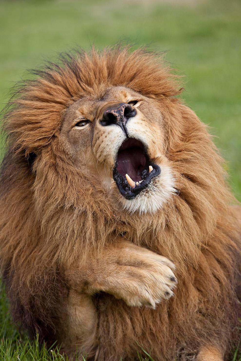 Импозантный царь зверей
