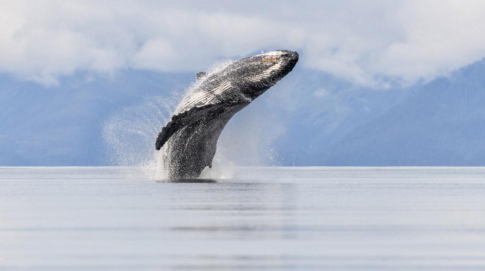 Горбатый кит на Аляске