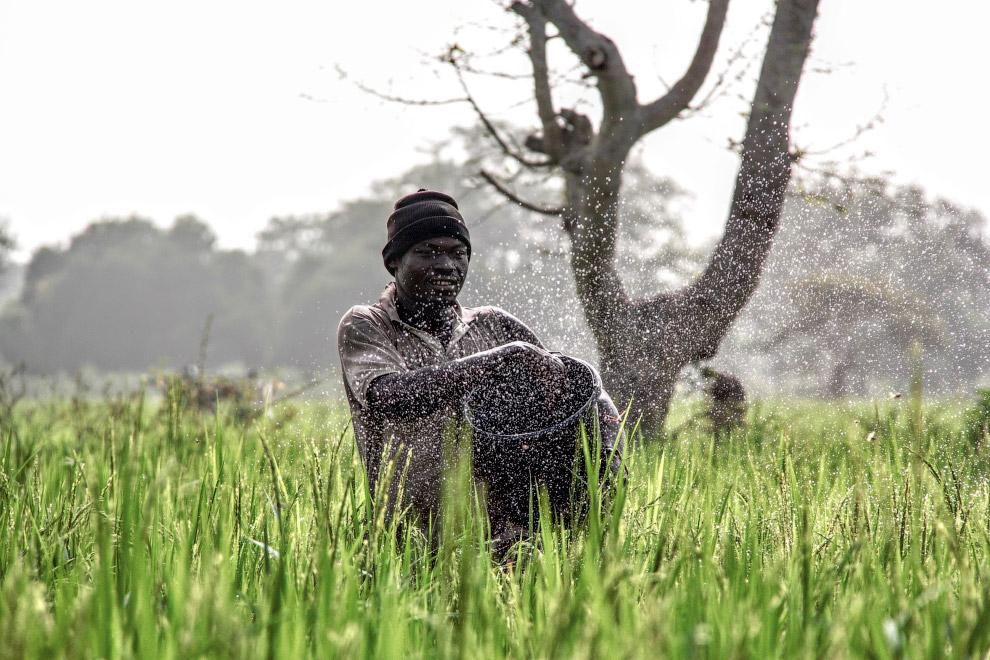 Фермер на рисовом поле в северной Гане