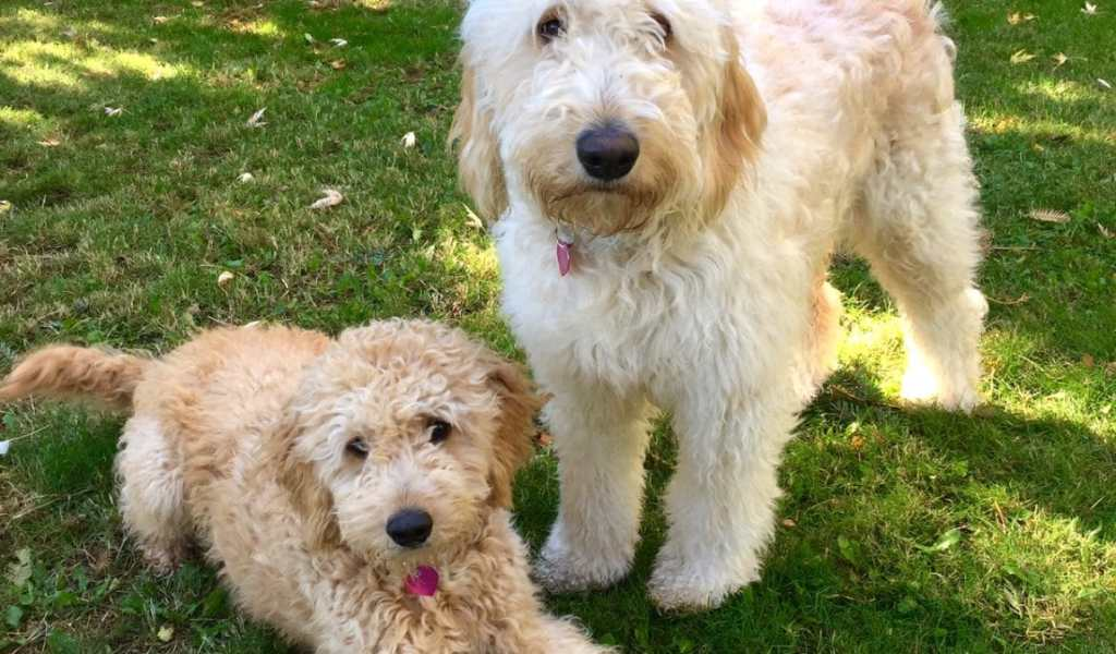 Goldendoodle A Labradoodle - Pets and Animals Paradise
