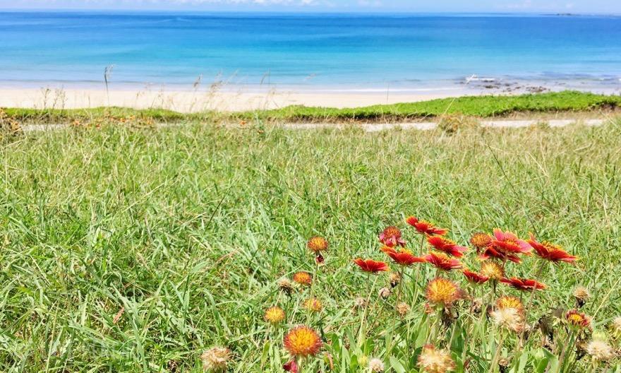 澎湖の県花である天人菊と海のコントラストにため息が出る