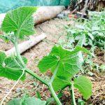 澎湖(ポンフー)での農業に四苦八苦