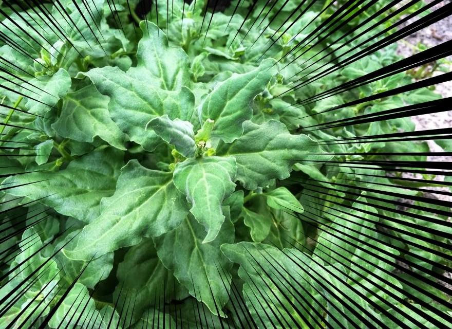 澎湖(ポンフー)に自生する野草を発見! 本当に食えるのか? お料理実験してみた!