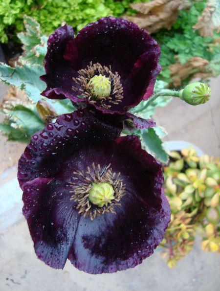 Poppy evolution in the LPL garden