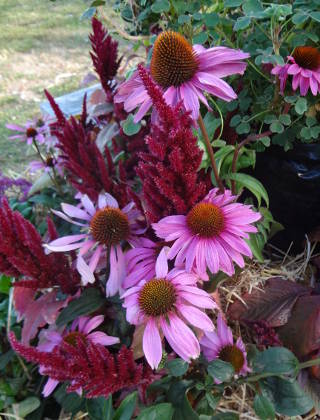 Echinacea and amaranth