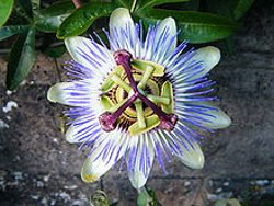 Blue passionflower - Passiflora