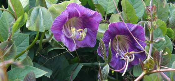 Weed Cathedral bells Cobaea scandens