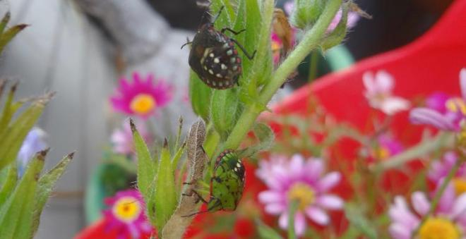 shield bugs on the echiums