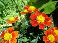 Red marietta marigolds