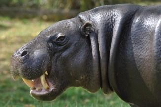 London Zoo hippo