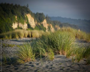 Beach grass at Prairie Creek Redwoods State Park, Orick CA