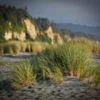 Beach grass at Prairie Creek Redwoods State Park, Orick CA