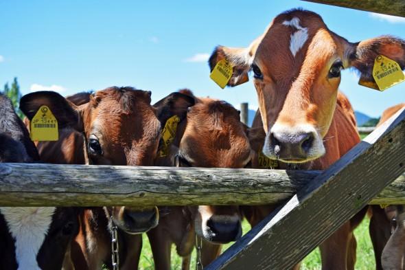どんぐり村の牛