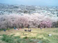 弘法山古墳のしだれ桜