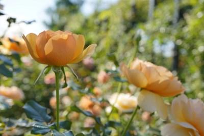 イングリッシュガーデンの花