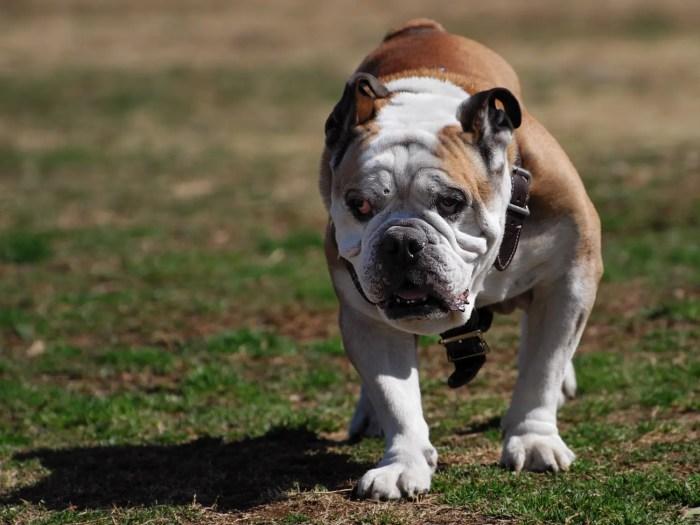 不細工な犬